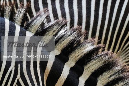 Close-up of Grevy's Zebra (Equus grevyi) Stripes in Zoo, Nuremberg, Bavaria, Germany