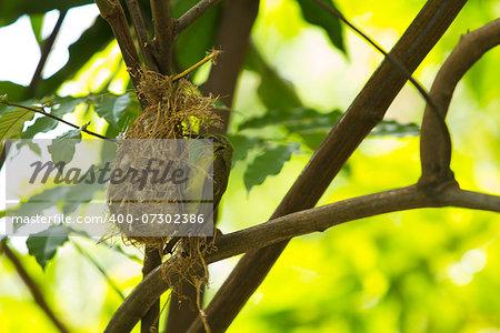 Bird (Olive-backed Sunbird) feeding new born chicks