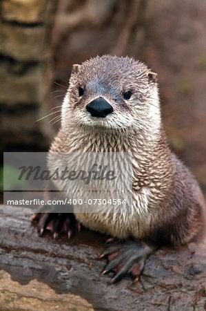 A shot of an otter on a bank