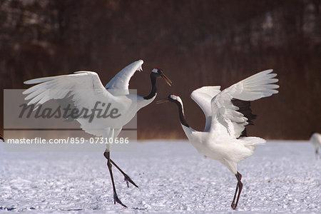 Cranes, Japan