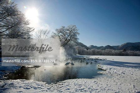 Swans, Hokkaido