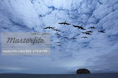 Flock of frigate birds