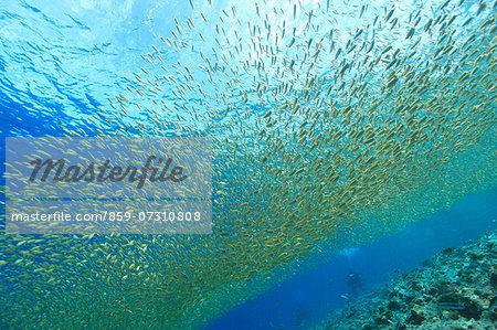 Juvenile Rabbitfish