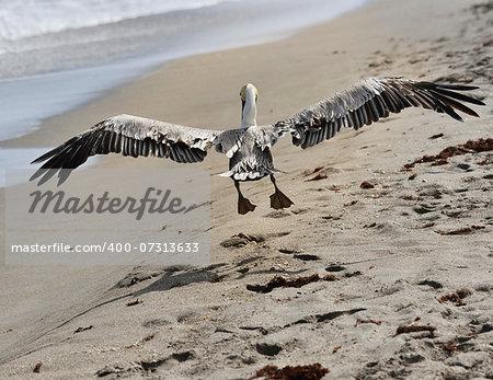 Brown Pelican In Flight Near Atlantic Ocean