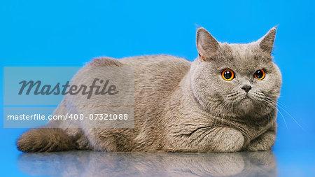 blue british shorthair cat, on blue background