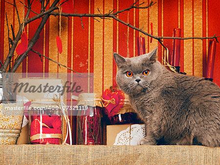 blue british shorthair cat at home interior