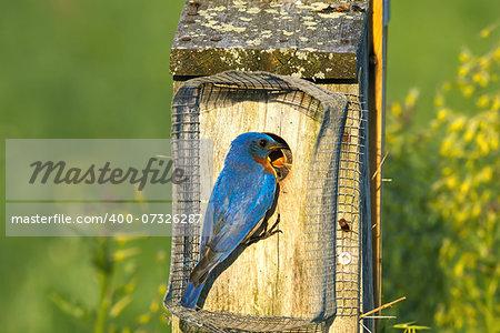 A male Eastern Bluebird feeding the babies on a bright spring day.