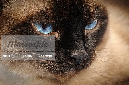 sad siamese cat face macro extreme closeup