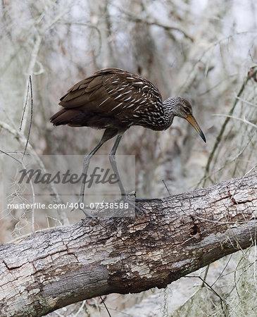 Limpkin Bird Walking On A Tree