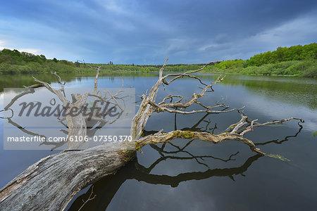 Old Oak Tree in Lake