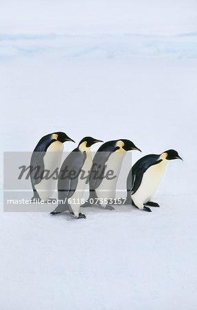 Emperor penguins, Aptenodytes forsteri, Antarctica