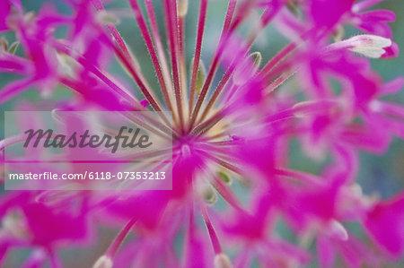 Purple begonia, Peurgonium incrassatum, Namaqualand National Park, South Africa