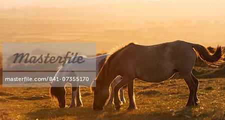 Dartmoor ponies grazing on moorland in summer, Dartmoor National Park, Devon, England, United Kingdom, Europe