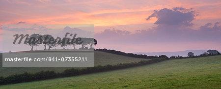 Iconic Exmoor beech trees at dawn in summer near Luccombe, Exmoor, Somerset, England, United Kingdom, Europe