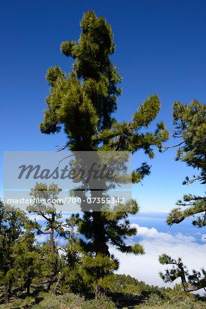 Fir Trees above Clouds on Mountain, Roque de Los Muchachos, Caldera de Taburiente National Park, La Palma, Canary Islands