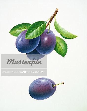 Prunes Illustration