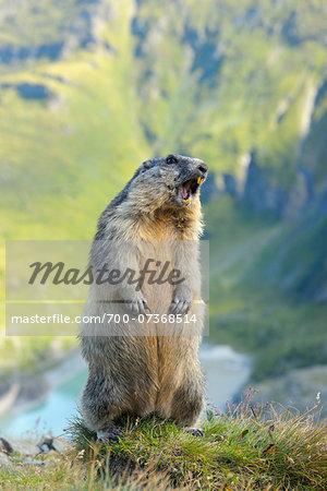 Alpine Marmot (Marmota marmota) Calling, Hohe Tauern National Park, Grossglockner High Alpine Road, Carinthia, Austria