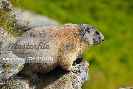 Alpine Marmot (Marmota marmota) Looking over Edge of Rock, Hohe Tauern National Park, Grossglockner High Alpine Road, Carinthia, Austria