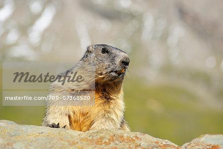 Alpine Marmot (Marmota marmota), Hohe Tauern National Park, Grossglockner High Alpine Road, Carinthia, Austria