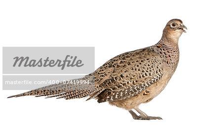 "Female Golden Pheasant or ""Chinese Pheasant"", (Chrysolophus pictus)"