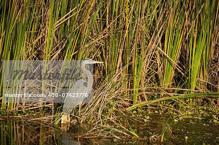 Little Blue Heron (Egretta caerulea) foraging in the Everglades.