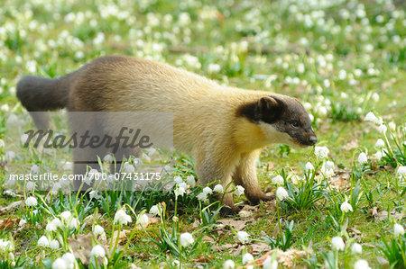 Yellow-throated Marten (Martes flavigula) in Flowering Meadow, Bavaria, Germany