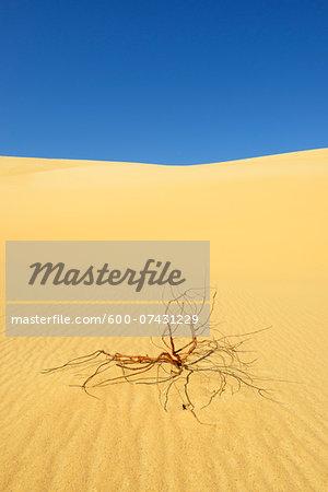 Dried Shrub in Desert, Matruh, Great Sand Sea, Libyan Desert, Sahara Desert, Egypt, North Africa, Africa