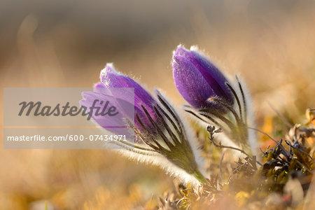 Pulsatilla (Pulsatilla vulgaris) Blooms in Grassland in Evening in Early Spring, Upper Palatinate, Bavaria, Germany