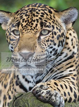 Close up of adult male jaguar (Panthera onca), San Jose, Costa Rica