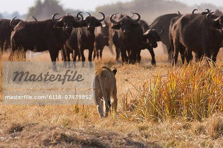 African lion and buffalo, Botswana