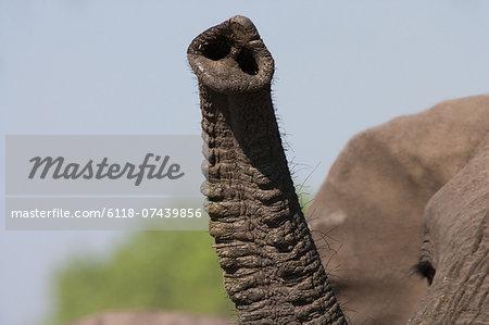 African elephant trunk, Botswana