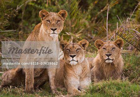 African lions, Botswana