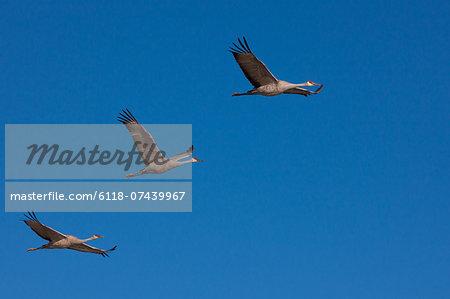 Sandhill cranes, Bosque Del Apache National Wildlife Refuge, New Mexico, USA