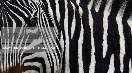 Zebra, Equus quagga burchellii, Ngorongoro Conservation Area, Tanzania, Africa