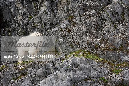 Mountain Goat, Glacier Bay National Park and Preserve, Alaska, USA