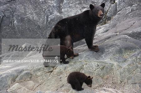 Black bear and cubs, Glacier National Park and Preserve, Alaska, USA