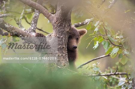 Brown bear cub climbing a tree, Katmai National Park, Alaska, USA