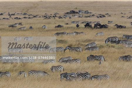 Grant's zebras and wildebeests, Kenya