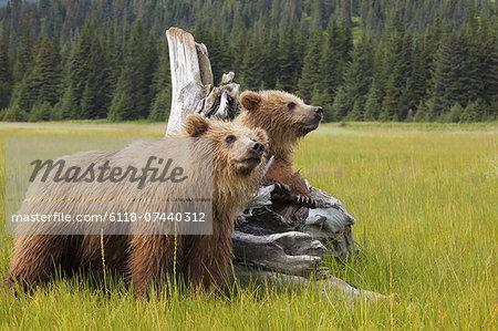 Brown bears, Lake Clark National Park, Alaska, USA