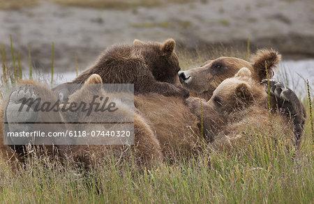 Brown bear cubs nursing, Lake Clark National Park, Alaska, USA