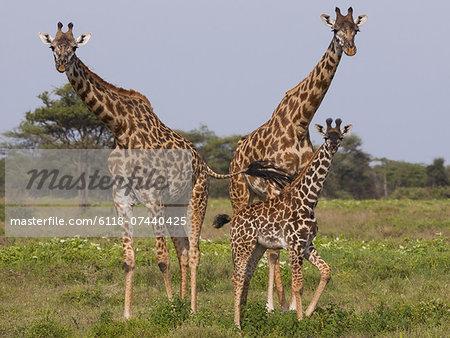 Three masai giraffe in the Serengeti National Park, Tanzania