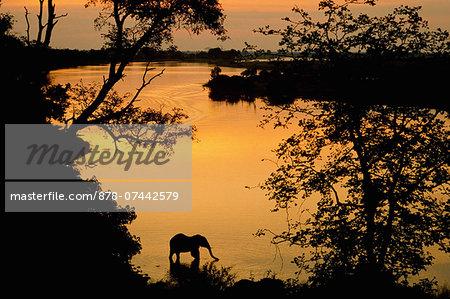 African elephant drinking, Loxodonta africana, Chobe National Park, Botswana