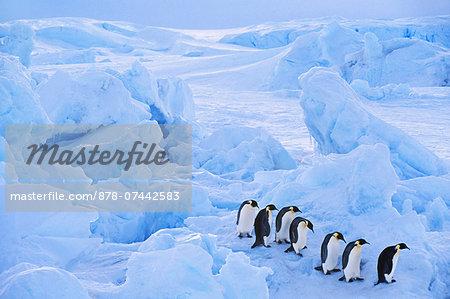 Emperor penguins moving across sea ice, Aptenodytes forsteri, Antarctica