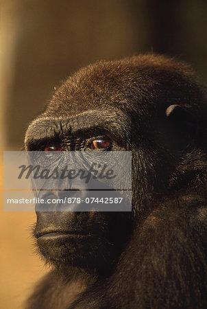 Lowland gorilla, Gorilla gorilla, Native to Congo (DRC)