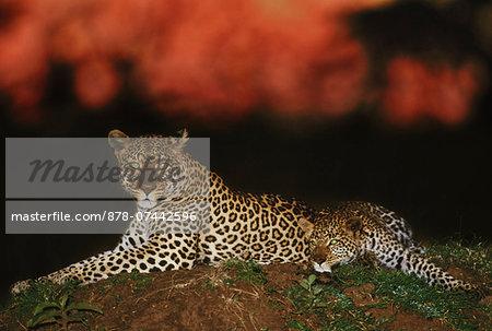 Leopard at dawn, Panthera pardus, Masai Mara Reserve, Kenya