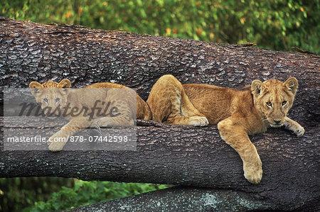 Lion cubs on tree, Panthera leo, Masai Mara Reserve, Kenya