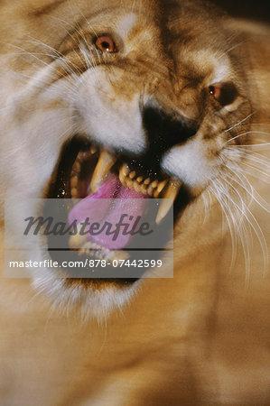 Lioness snarling, Panthera leo, Botswana