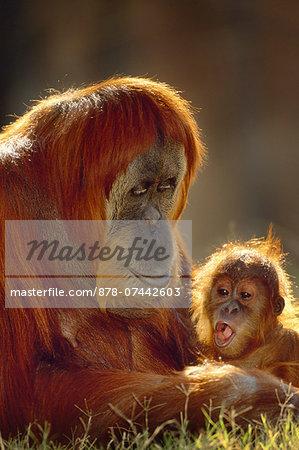Sumatran orangutan and young, Pongo abelii, Native to Sumatra