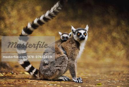 Ring-tailed lemur with baby on back, Lemur catta, Berenty Reserve, Madagascar