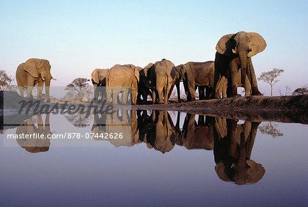 African elephant herd at waterhole, Loxodonta africana, Chobe National Park, Botswana